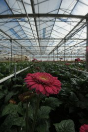 Gerbra daisies grow in an Ocean Breeze Nursery greenhouse