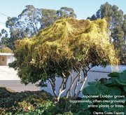 Contra Costa County tree covered in Japanese dodder