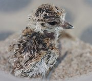 Four-hour old snowy plover
