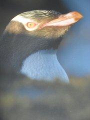A yellow-eyed penguin on the New Zealand coast.