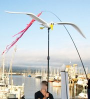 McAvene's seagull