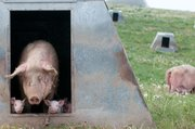Jude Becker humanely raises pigs on his organic farm in Dyersville, Iowa.