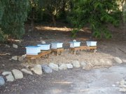 Typical backyard setup depicting a series of small beehives.