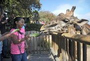 9-year-old Victoria from Bakersfield feeds of the Santa Barbara Zoo's Masai giraffes