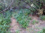 Marijuana plants growing in Montecito