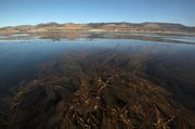 <b>HOME SWEET SEAWEED:</b> The maze of kelp patches off Hollister Ranch is where most of the Santa Barbara Channel otters call home.