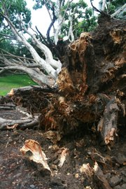 City parks employees pointed out that the trees roots were extremely brittle with rot