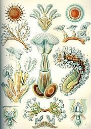 """""""Bryozoa,"""" Ernst Haeckel, <em>Kunstformen der Natur</em>, 1904"""