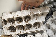Thousands of crickets grow to about six weeks of age on egg cartons in the Bren School's Eco-E lab before harvest time.