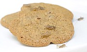 A cookie made of cricket flour.