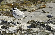 A snowy plover on the beach by Coal Oil Point (May 24, 2015)