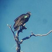 Santa Barbara's most recent condor visitor, #717