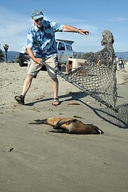 Peter Howorth nets a stranded sea lion