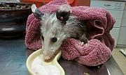 Baby possum rescue