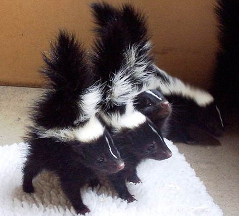 Among the animals rescued by Goleta's Wildlife Care Network are baby skunks.