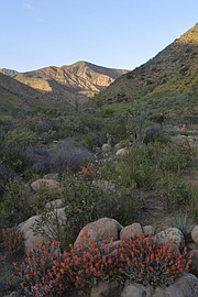 In the spring, Agua Caliente Canyon is a great place to see wildflowers.