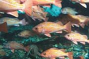Vermilion rockfish, <em>Sebastes miniatus</em>, under Gilda