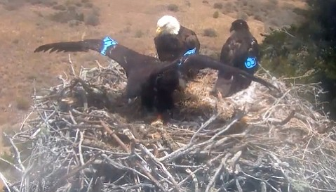 Writer Howard Booth is as fascinated by the Sauces Canyon Santa Cruz Bald Eagle eaglets, now ready to fledge, as he is by the growth of children on bicycles.