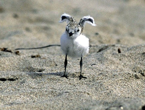 This snowy plover chick is one of hundreds that have successfully hatched at Coal Oil Point Reserve, which protects the threatened species.