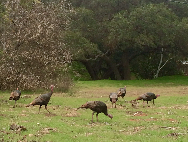 A flock of wild turkeys near Paradise Road
