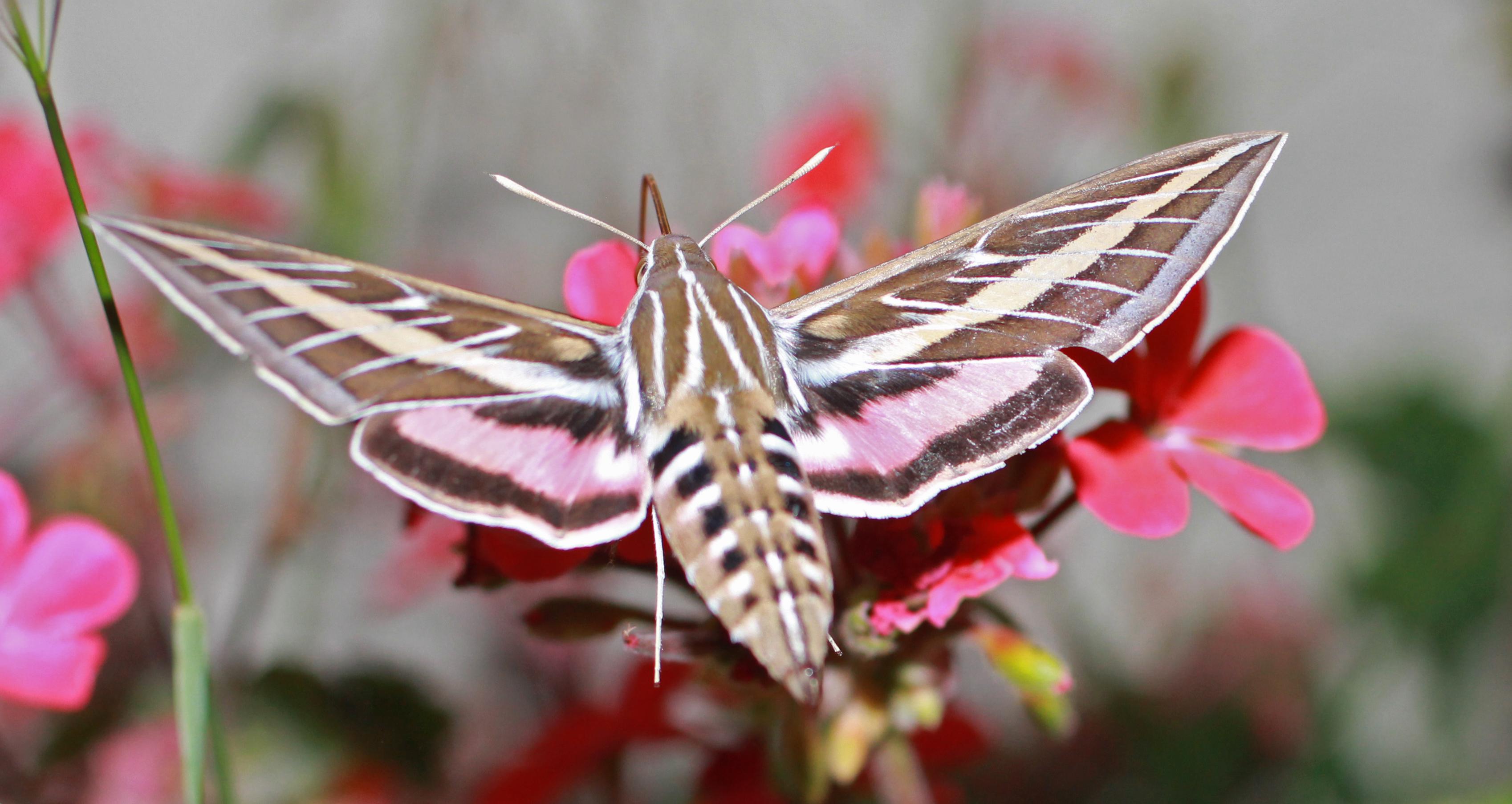 A Couple Of Cool Santa Barbara Moths