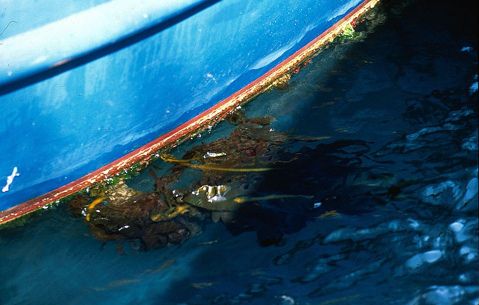 Boaters are asked to look out for <em>Undaria pinnatifida</em>, aka <em>wakame</em>, attached to lines or hulls. The highly invasive seaweed has begun a takeover offshore Anacapa Island.