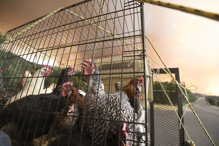 You didn't have to be a chicken to evacuate from the Whittier Fire area along Highway 154.
