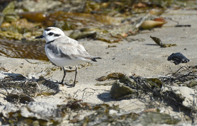 Air Force officials have closed Vandenberg's Surf Beach to prevent humans, dogs, and horses from trampling the nests of western snowy plovers, a threatened species.