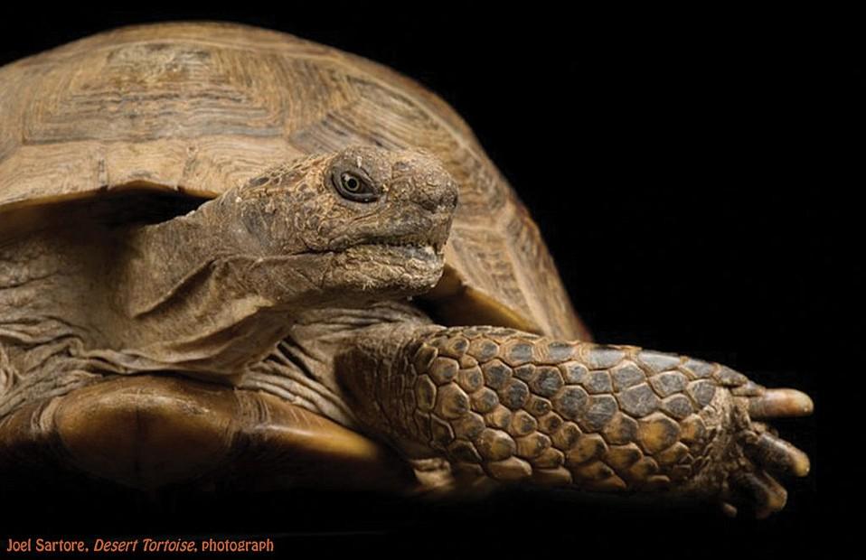 """Desert Tortoise"" by Joel Sartore"