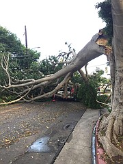 A tree toppled onto a car at San Andrés and De La Guerra.