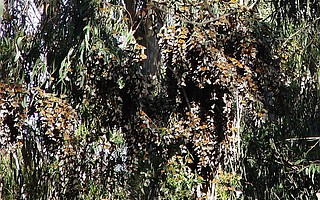 The challenge of public safety in Goleta's popular Ellwood butterfly groves, pictured here in 2006, had a short-term solution of felling 29 dead eucalyptus trees.