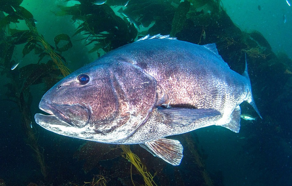 Would you rather see a giant sea bass — more than six feet in length and estimated to reach 75 years of age — or eat one? ask UCSB researchers.