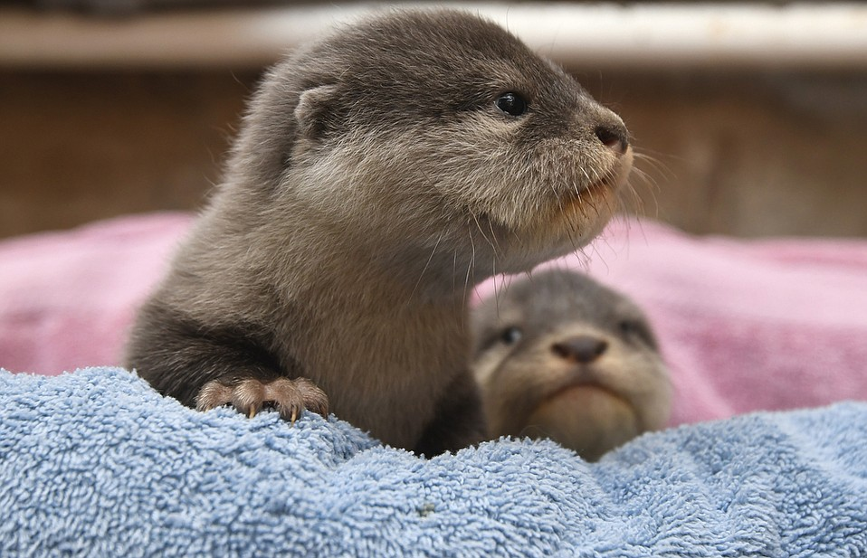 The Santa Barbara Zoo's baby Asian small-clawed otters, now about seven weeks old. Their teeth have come in and theirs eyes are open (in that order) but still have a few weeks before their parents will teach them to swim or be on public display.