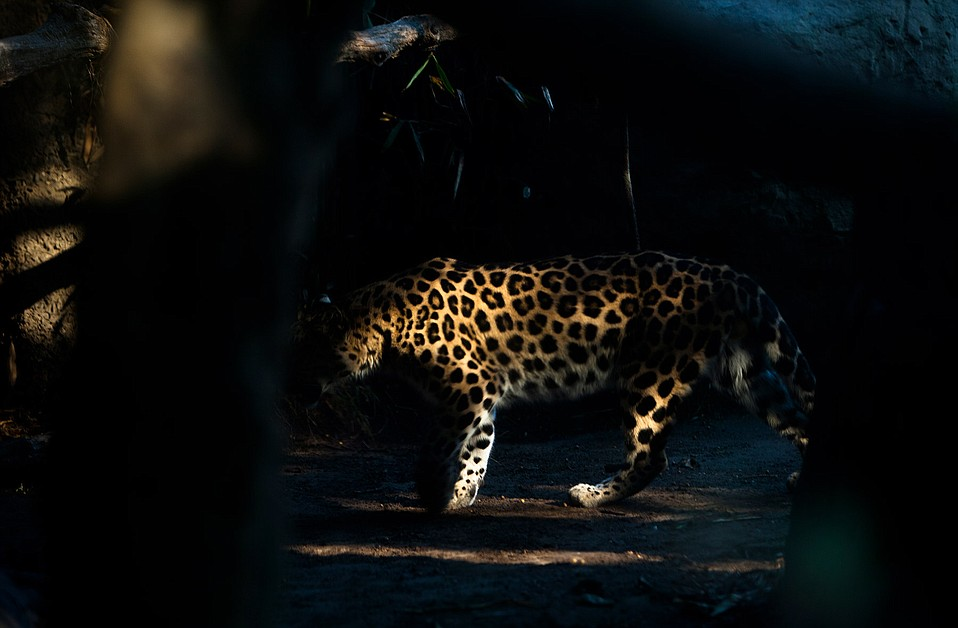 Amur leopards, which are one of the eight recognized leopard subspecies, are the most at risk of extinction of all big cats.