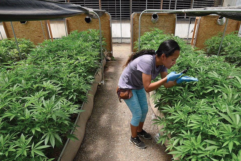 Harvest manager Christina Seng monitors the plants at an area cannabis greenhouse.