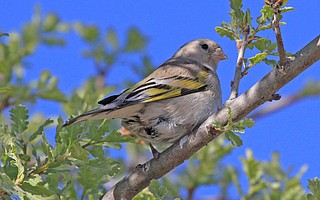 Female Lawrence's Goldfinch - Midland