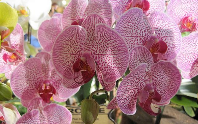 The 73rd Santa Barbara International Orchid Show brings floral beauties to Earl Warren Showgrounds this weekend.