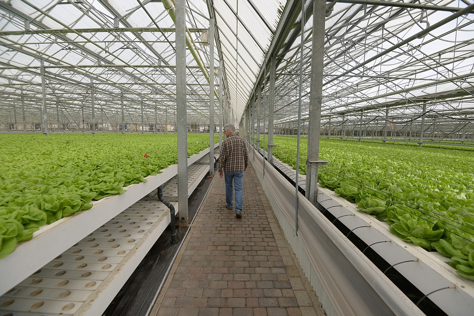 Peter Overgaag's 16 acres of greenhouse grow seas of butter lettuce and cress.