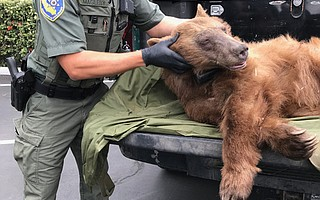 A California Department of Fish & Wildlife game warden holds the 100-pound pregnant black bear that presumably followed a creek to Miramar Beach, where it was tranquilized and transported back to the mountains.