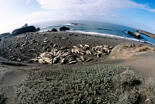 Elephant seals laze in the sun.