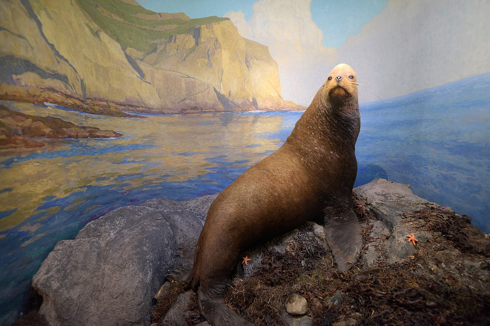 The museum redid more than 30 of its dioramas, many of which feature mammals and birds that had been preserved 100 years ago by the old Rett Brothers taxidermy shop on Rancheria Street. Curators were able to save the vast majority of the animals, like this sea lion, but some needed to be replaced.