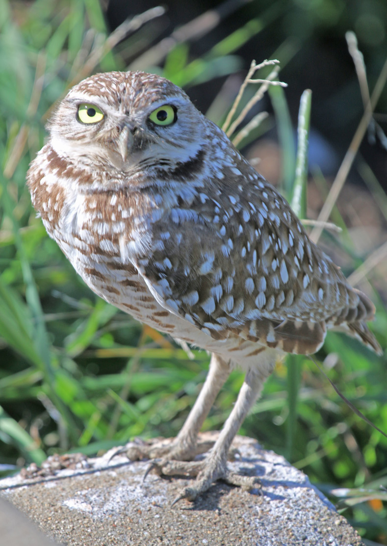 Owls Are Nocturnal Backyard Visitors