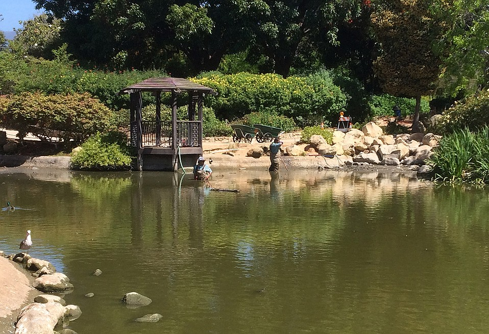 City workers tread carefully in thigh-high muck while draining the pond at Alice Keck Park gardens. 'It's really nasty,' said one.