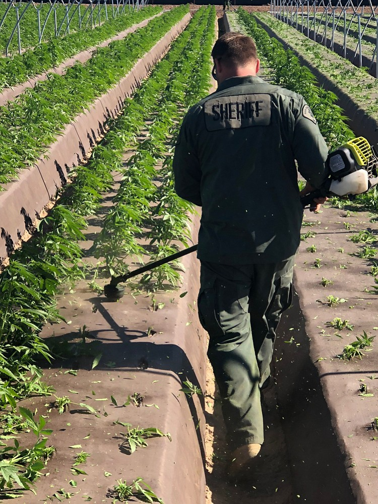 Illegal growing operation in Santa Maria