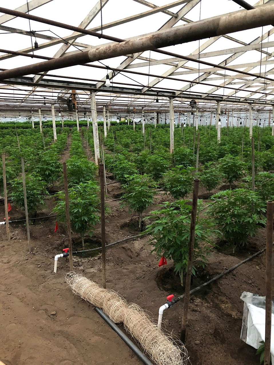 Approximately 22,420 cannabis plants were seized and destroyed