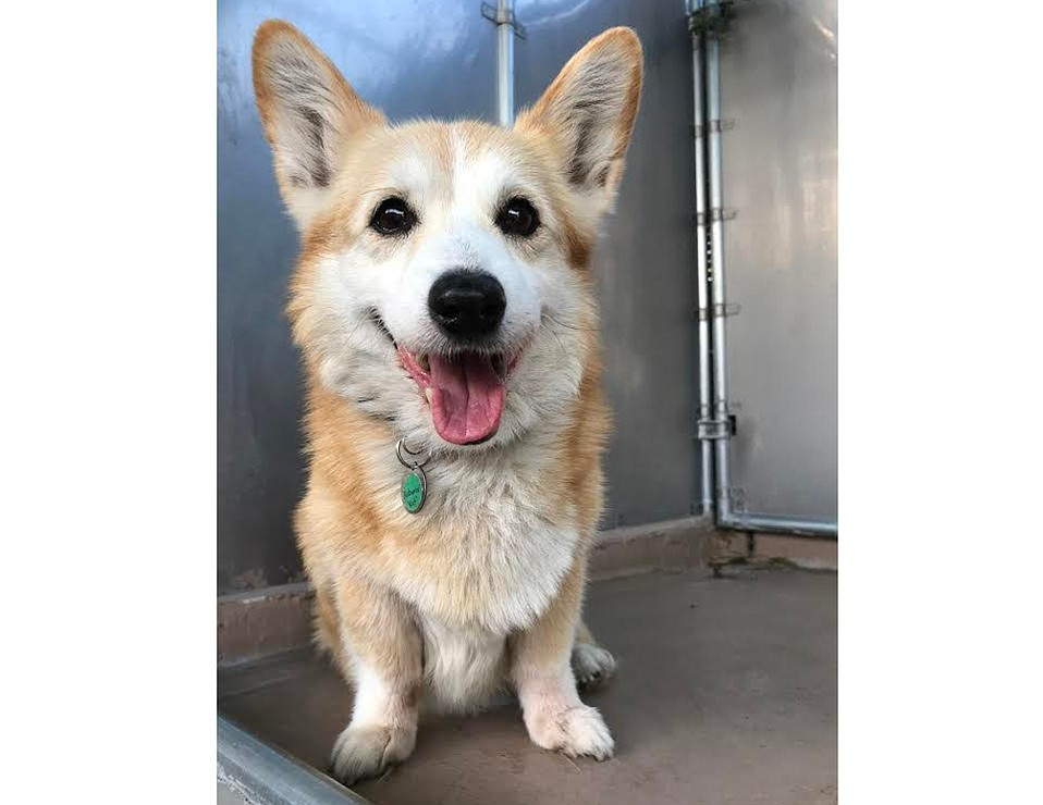 Kat the Welsh Corgi needs a home!