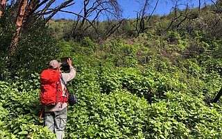 "Jonathan ""Yonni"" Schwartz, coordinator of the Los Padres Burn Area Emergency Response team, documents the thick carpet of vegetation spreading across slopes near San Ysidro Creek that were denuded in the Thomas Fire. At left, a bay tree has re-sprouted."